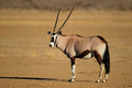 Gemsbok antelope oryx gazella kalahari desert south africa Royalty Free Stock Images