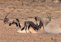 Gemsbok antelope oryx gazella male fighting in the kgalagadi transfrontier park southern africa Royalty Free Stock Photos