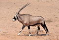 Gemsbok antelope oryx gazella male in the kgalagadi transfrontier park southern africa Royalty Free Stock Photography