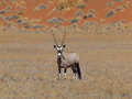 Gemsbok antelope oryx gazella namib desert namibia Royalty Free Stock Photo