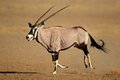 Gemsbok antelope oryx gazella running kalahari desert south africa Royalty Free Stock Image