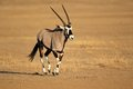 Gemsbok antelope oryx gazella running kalahari desert south africa Stock Images