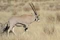Gemsbok antelope oryx gazella south africa Royalty Free Stock Image