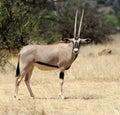 Gemsbok antelope oryx gazella south africa Stock Photo