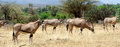 Gemsbok antelope oryx gazella south africa Royalty Free Stock Photos