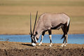 Gemsbok antelope oryx gazella at a waterhole kalahari desert south africa Stock Images