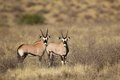 Gemsbok antelopes Stock Photo