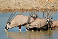 Gemsbok antelopes drinking oryx gazella water etosha national park namibia Royalty Free Stock Photography