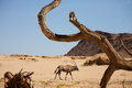 Gemsbok and the dead branch near puros conservation area in kaokoland namibia Stock Images