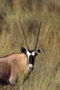 Gemsbok in desert grassland a oryx gazella head and shoulders standing the kalahari a blurred natural setting south africa Royalty Free Stock Photos