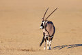 Gemsbok in the desert oryx gazella kalahari south africa Stock Photo