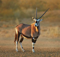 Gemsbok in the desert oryx gazella kalahari south africa Royalty Free Stock Photography