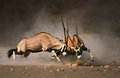 Gemsbok fight intense between two male on dusty plains of etosha Royalty Free Stock Photo