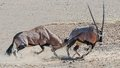 Gemsbok fight kgalagadi playing sharp horns almost got you Stock Images