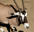 Gemsbok or gemsbuck oryx gazella is a large antelope in the genus Stock Photos