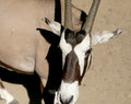 Gemsbok or gemsbuck oryx gazella is a large antelope in the genus Royalty Free Stock Photos