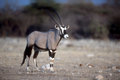 Gemsbok or gemsbuck oryx gazella single mammal namibia Stock Image
