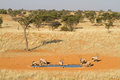 Gemsbok herd Royalty Free Stock Image