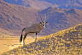 Gemsbok in the namib desert a single stood on a sandy hill early morning light namibia southern africa with a backdrop Stock Photos