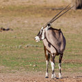 Gemsbok Oryx Stock Photography
