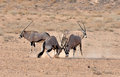 Gemsbok (Oryx) Antelope fight Stock Photos