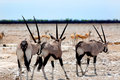 Gemsbok oryx in etosha with springbok three on the dusty plains of the background Royalty Free Stock Photos
