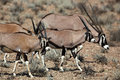 Gemsbok oryx family, Kalahari desert Stock Photography