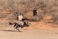 Gemsbok oryx gazella running dominant antelope in the park kalahari south africa Royalty Free Stock Photos