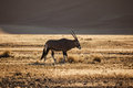 Gemsbok oryx grazes in namibian desert grazing antelope with long straight horns and a hump back this is the oldest the world Royalty Free Stock Images