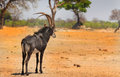 An gemsbok oryx a lone male standing on the plains in hwange national park zimbabwe Royalty Free Stock Photo