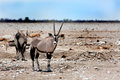A gemsbok oryx standing on the etosha plains looking directly ahead w with bright blue sky and springbok in background Stock Photography