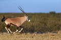 Gemsbok running oryx gazella kalahari south africa Stock Image