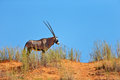 Gemsbok standing on top of a sand dune Royalty Free Stock Photo