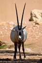 Gemsbok stands in the shade an african standing under sun Stock Photography