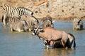 Gemsbok and zebra in water antelopes oryx gazella plains zebras equus burchelli etosha national park namibia Stock Photos