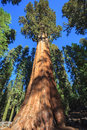 General sherman sequoia the largest tree on earth national park Stock Image