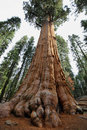 General Sherman tree in Giant Forest of Sequoia National Park Royalty Free Stock Photo
