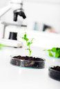 Genetically modified plant tested in petri dish ecology laboratory Stock Images