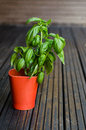 Genovese basil large leaves in red pot Royalty Free Stock Images