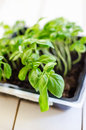 Genovese basil in a special growing pot Stock Photo
