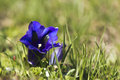 Gentian flower closeup swiss blue at alpine grass field Stock Images