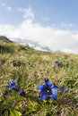Gentian flowers swiss blue on alpine grass field Stock Photography