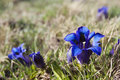 Gentian flowers swiss blue on alpine meadow Stock Photos