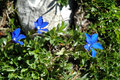 Gentiana flower beautiful blue in the mountains Stock Photography