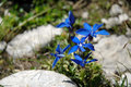 Gentiana flower beautiful blue in the mountains Stock Images
