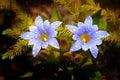 Gentiana laptoclada rainforest thailand Stock Photography