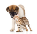 Gentle Akita inu puppy dog and affectionate bengal kitten. isolated on white Royalty Free Stock Photo