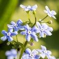 Gentle blue flowers forget-me-not Myosotis sylvatica on green natural background
