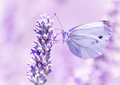 Gentle butterfly on lavender flower with light purple wings sitting detail of flora and fauna amazing wild nature concept Stock Photos