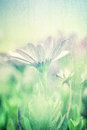 Gentle daisy field soft focus fine art photo with blur effect beautiful white flowers floral screensaver beauty of nature concept Stock Photo